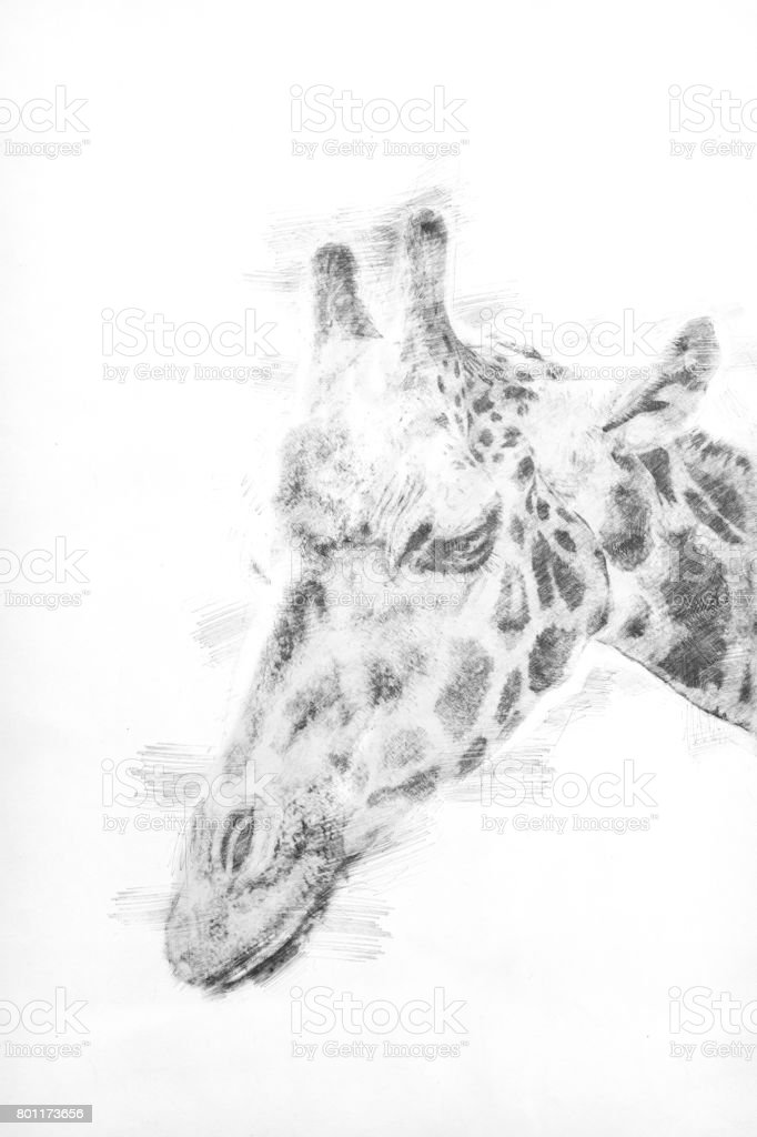 Sketch - Head shot of a giraffe stock photo