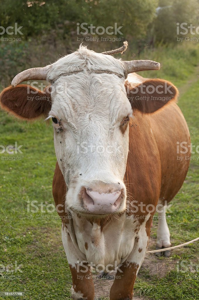 Skewbald cow full face royalty-free stock photo