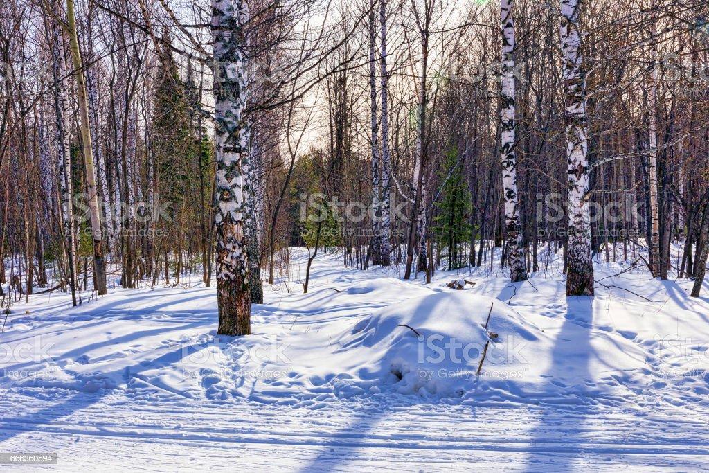 Ski in the winter woods stock photo