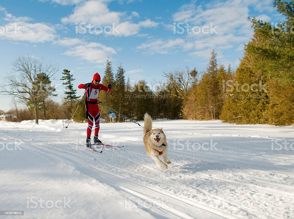Skijoring Dog pulling skier sunny day in Ontario stock photo