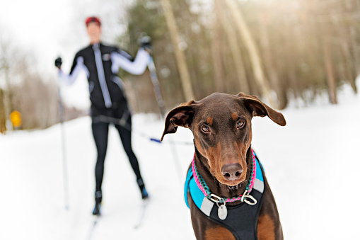istock A skijoring woman have fun in forest 1078465616
