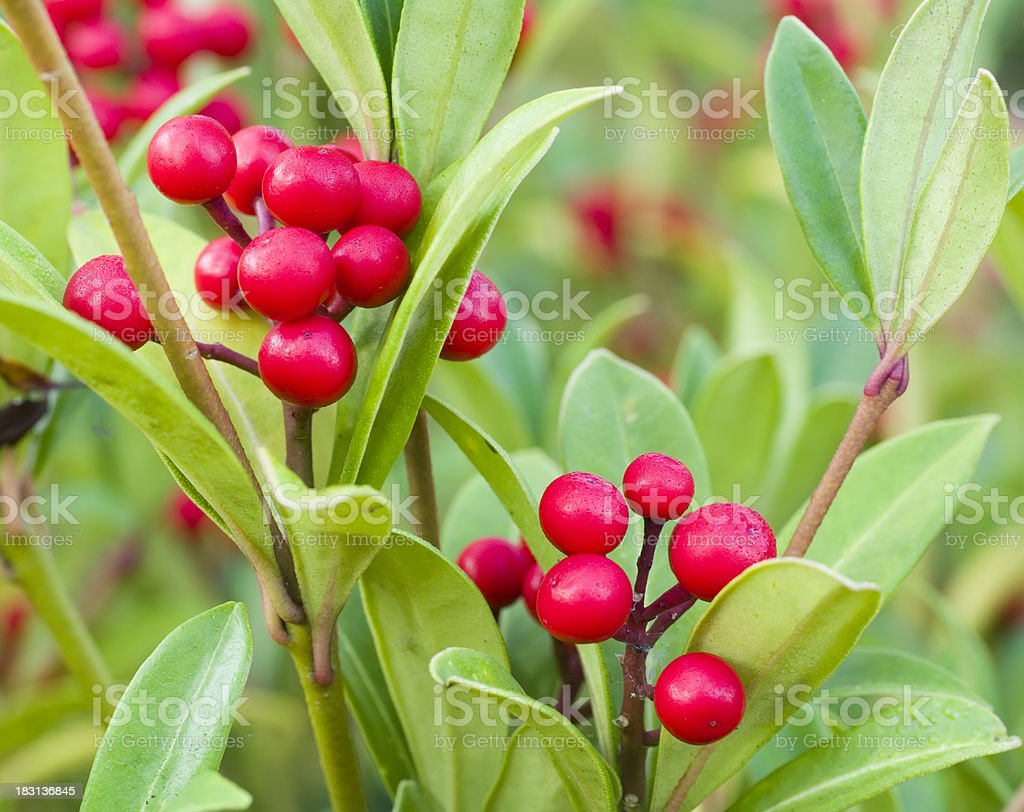 Skimmia japonica reevisiana (red berries) foto