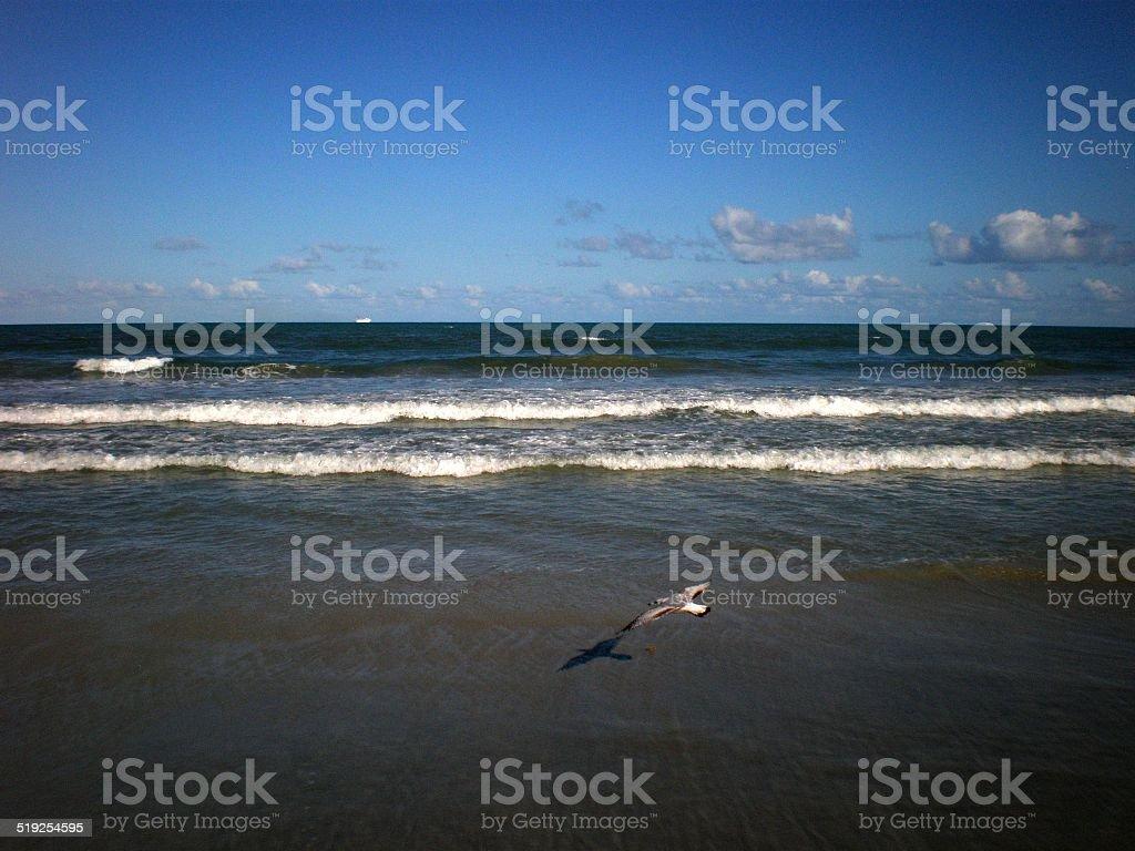 Skimming Seagull stock photo