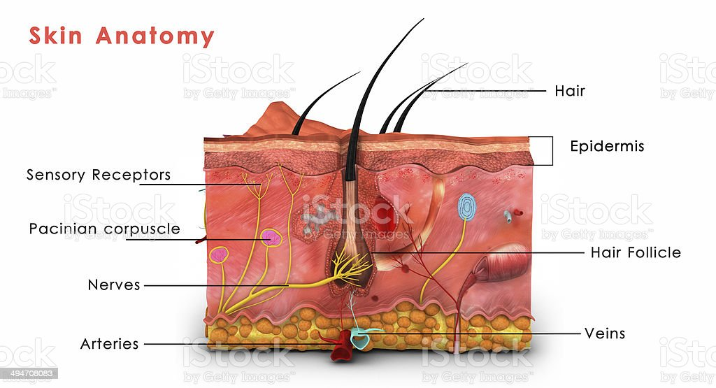 Skin Model Diagram Trusted Wiring Diagrams