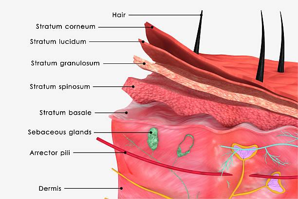 haut anatomie - schichthaare stock-fotos und bilder