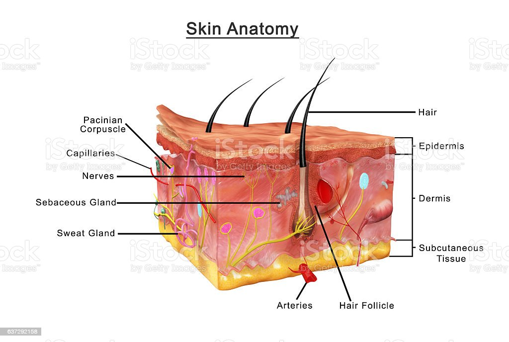 Skin Anatomy Stock Photo More Pictures Of Anatomy Istock