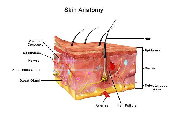 Skin anatomy stock photo