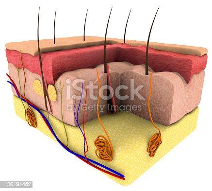 istock Skin cross section 136191452