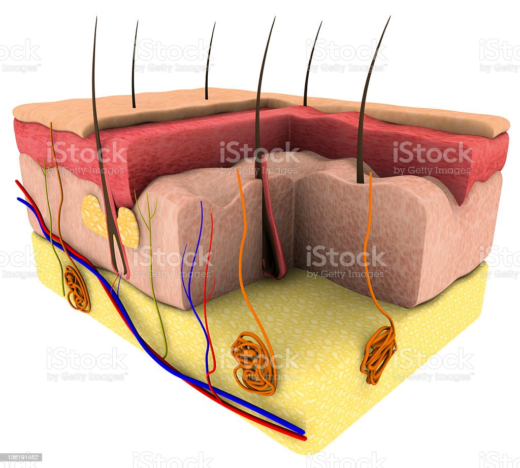 Skin cross section stock photo