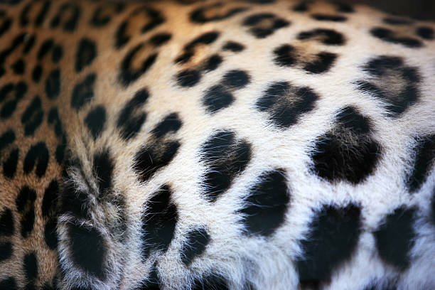 skin of the leopard - animal markings stock photos and pictures