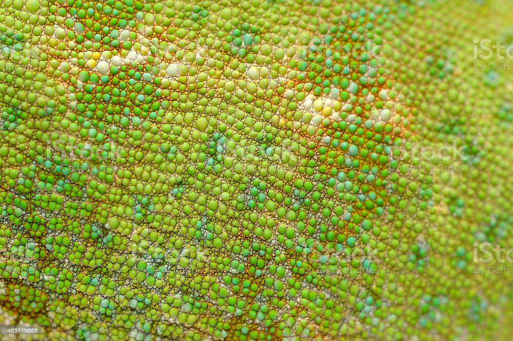 Skin of veiled chameleon (Chamaeleo calyptratus). stock photo