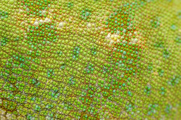 피부에 베일드카멜레온 (chamaeleo calyptratus). - 파충류 뉴스 사진 이미지