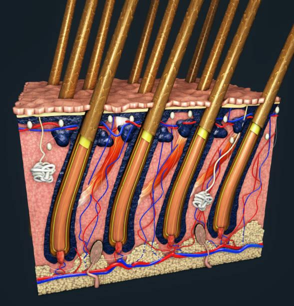 haut teil mit einem querschnitt der menschlichen haut mit haarfollikel oder wurzeln, roten und blauen blutgefäße, darstellung der anatomischen funktion - haare wachsen stock-fotos und bilder