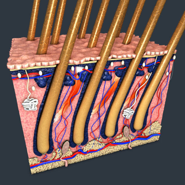 haut teil mit einem querschnitt der menschlichen haut mit haarfollikel oder wurzeln, roten und blauen blutgefäße, darstellung der anatomischen funktion - schichthaare stock-fotos und bilder