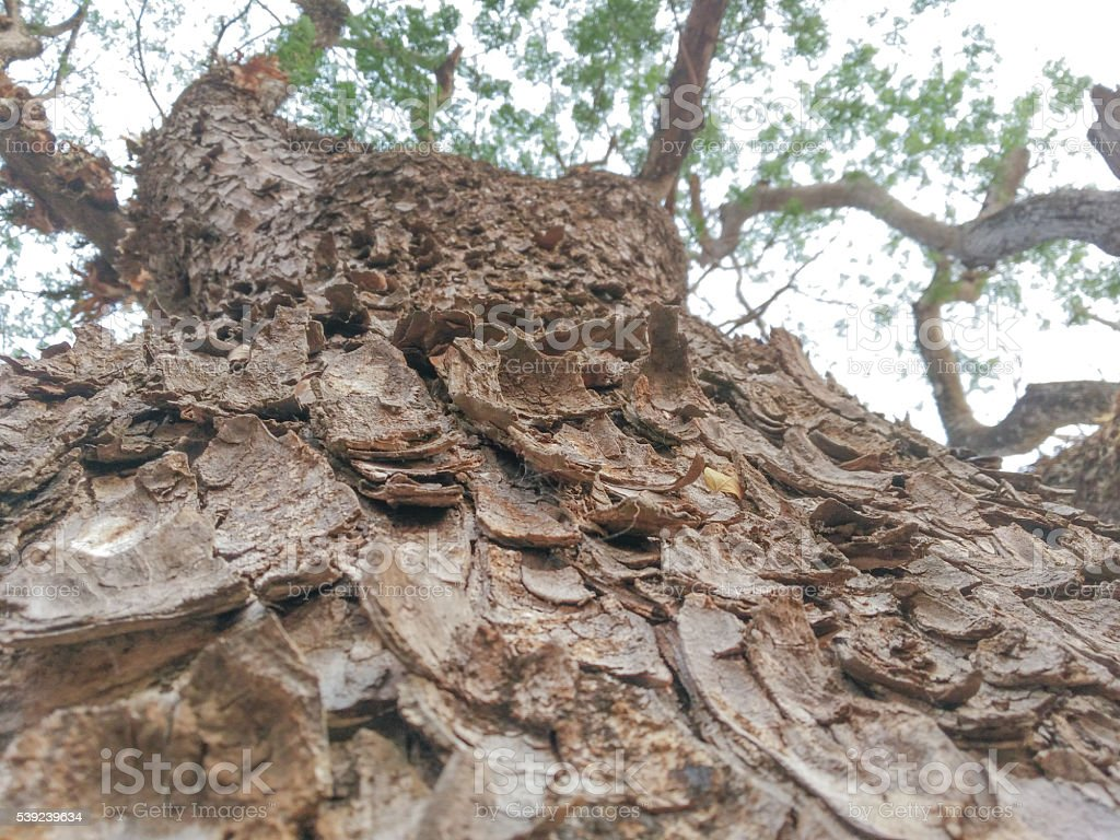 Árbol fondo con textura de la piel de árbol de lluvia foto de stock libre de derechos
