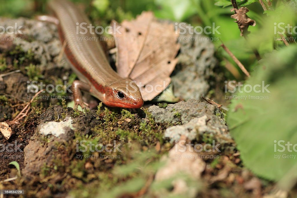 Skink Close up royalty-free stock photo