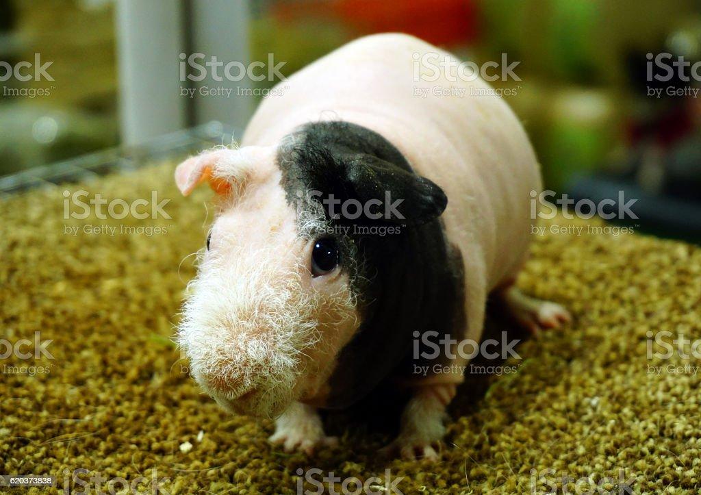 Skinny Guinea pig , hairless cavy zbiór zdjęć royalty-free