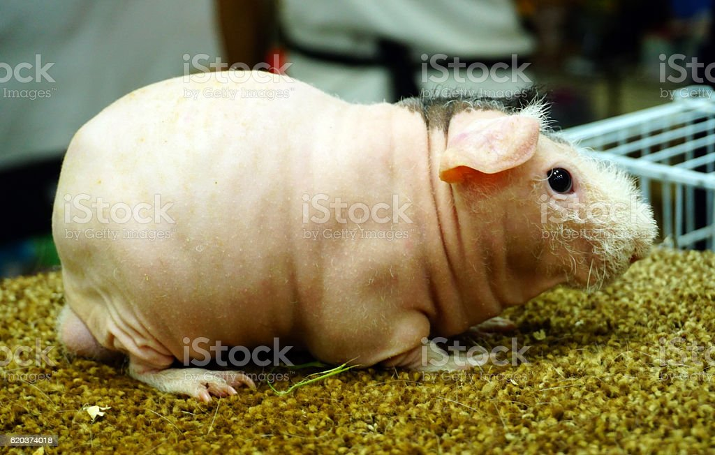 Skinny Guinea pig , hairless cavy foto de stock royalty-free