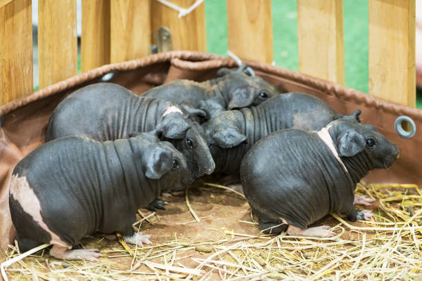 Skinny Pig or hairless guinea pig family stock photo