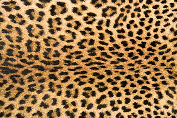 skin's texture 2 of leopard - animal markings stock photos and pictures