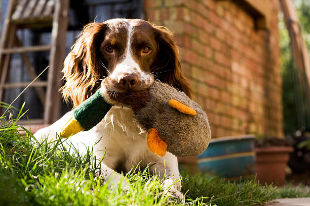 Skip & Duck...  hunting dog stock pictures, royalty-free photos & images