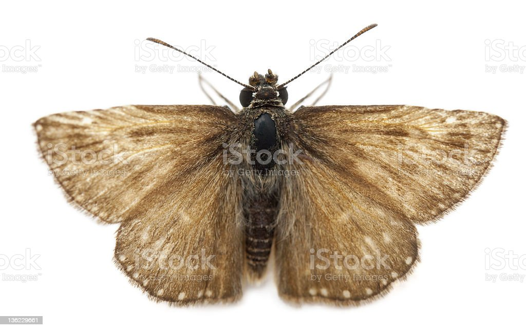 Skipper butterfly in front of white background stock photo