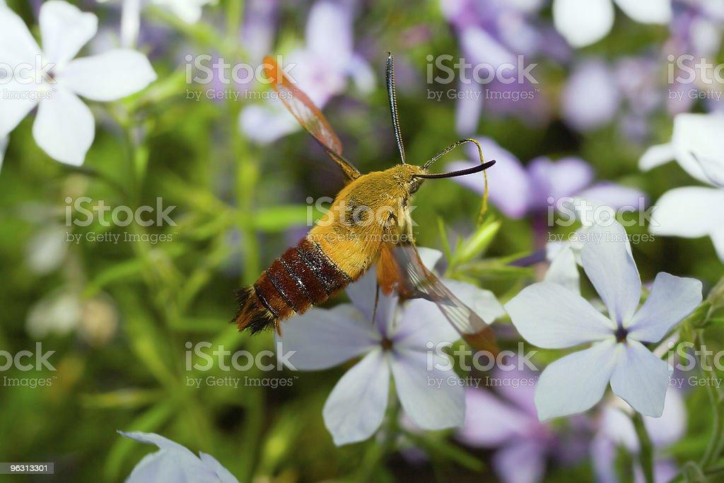 Skipper butterfly in midflight stock photo