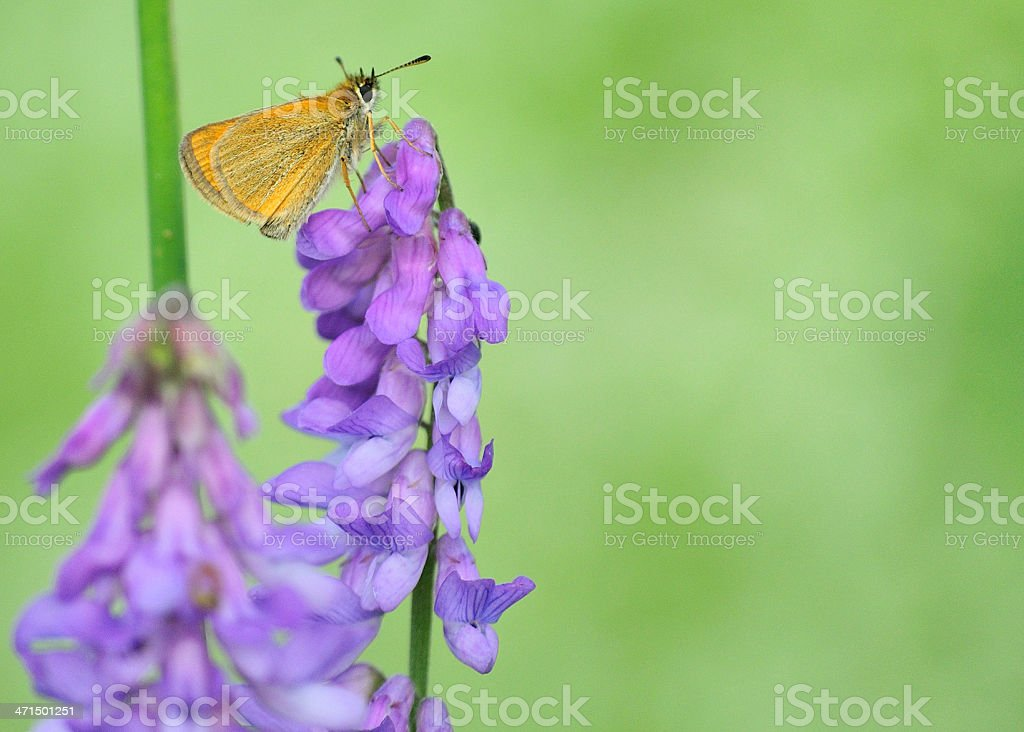 Skipper Butterfly royalty-free stock photo