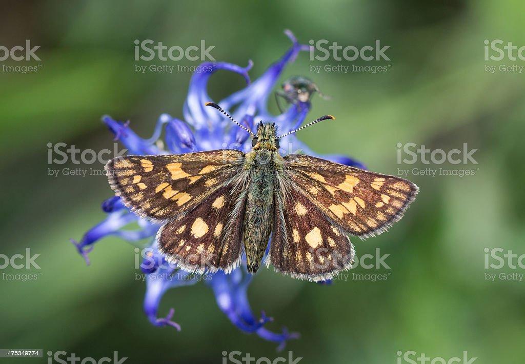 Skipper Butterfly (Carterocephalus palaemon) stock photo