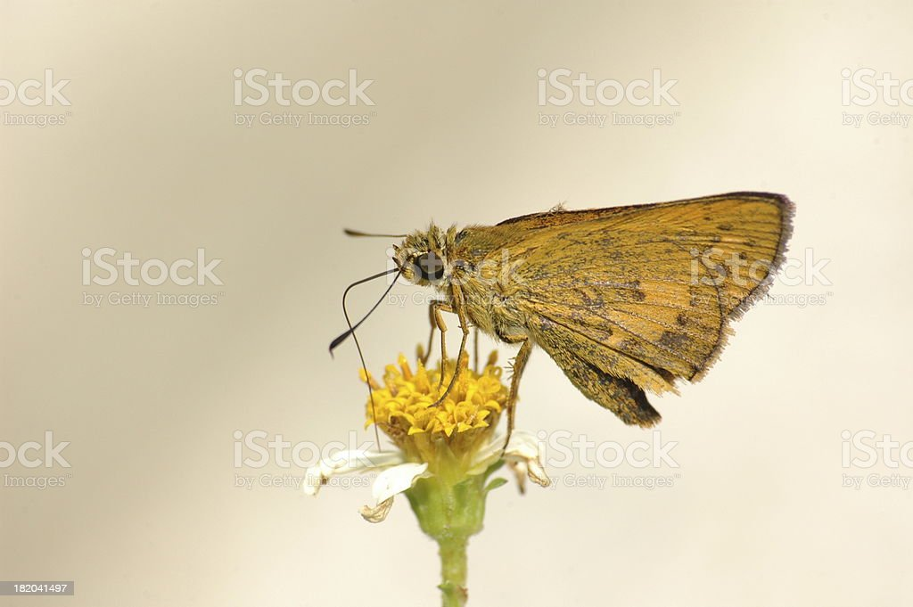 Skipper - Telicota spp (Taiwan, butterfly) royalty-free stock photo