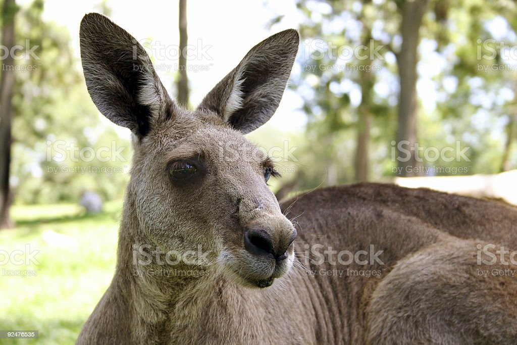 Skippy royalty-free stock photo