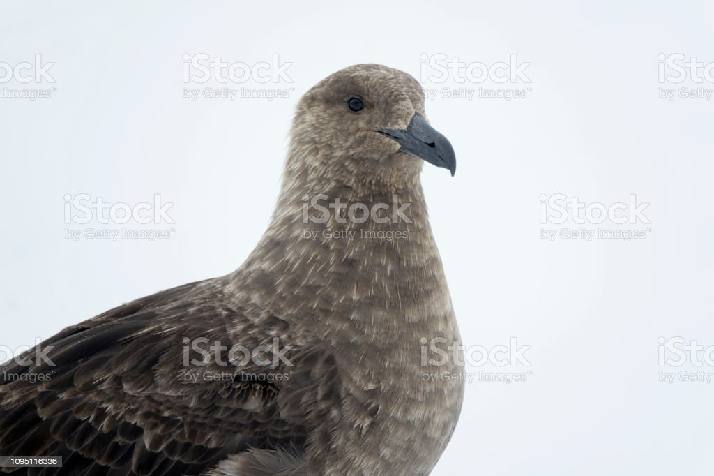Skua closeup Neko Harbor Antarctic Peninsula Antarctica stock photo