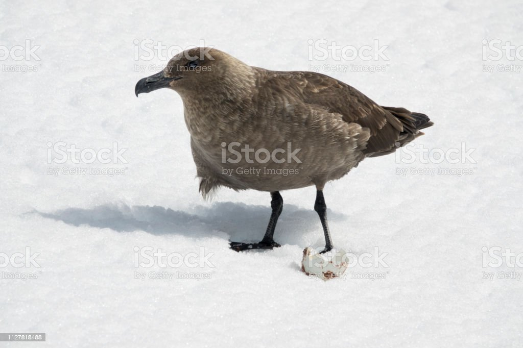 Skua eats penguin egg Orne Harbor Antarctic Peninsula Danco Coast Antarctica stock photo
