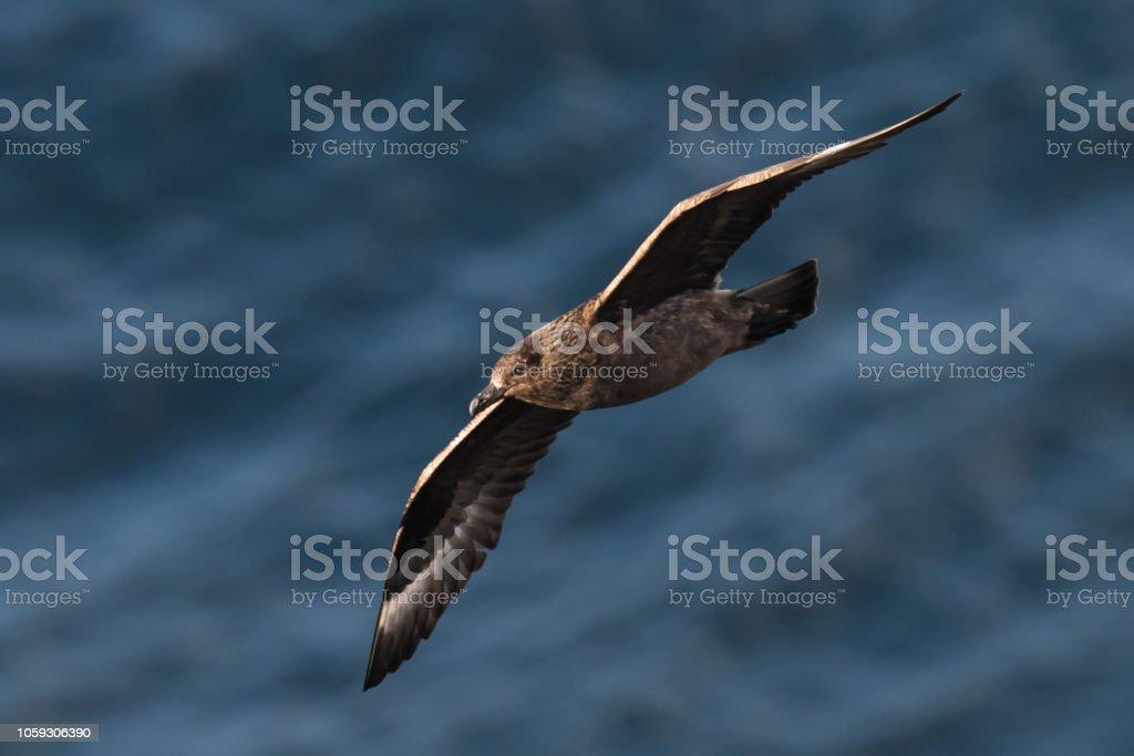 Skua im Flug in Schottland Higlands über Meer – Foto