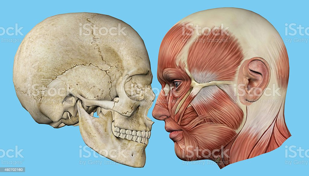 Skull and Muscles Profile stock photo