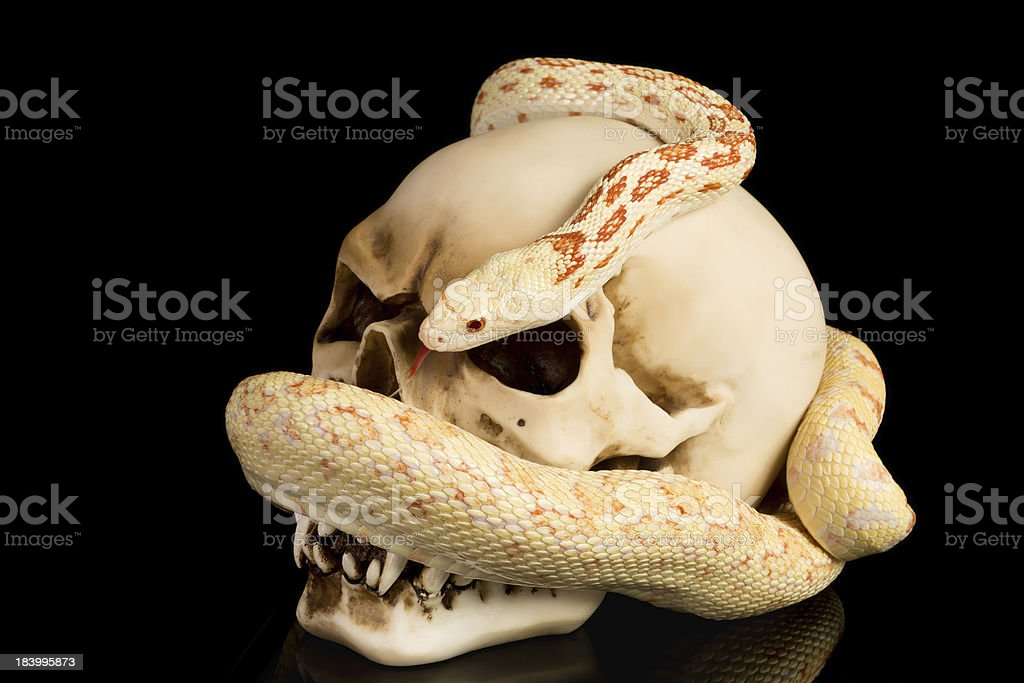 Skull and snake at haloween stock photo