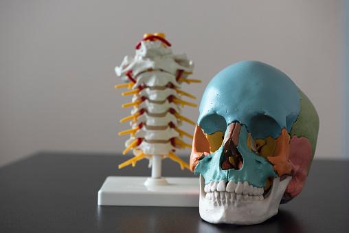 Schädel Und Wirbelsäule Modell Auf Dem Tisch Stockfoto und mehr Bilder von Akademisches Lernen