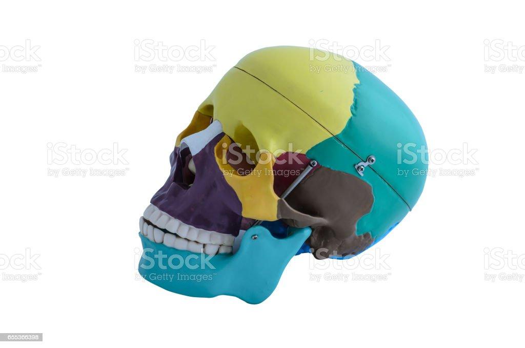 Skull bone anatomy model on white background stock photo