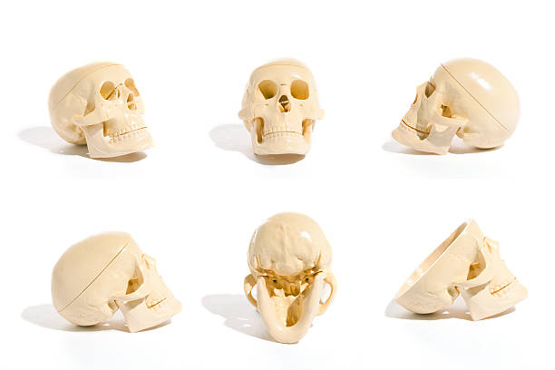 Skull Collection stock photo