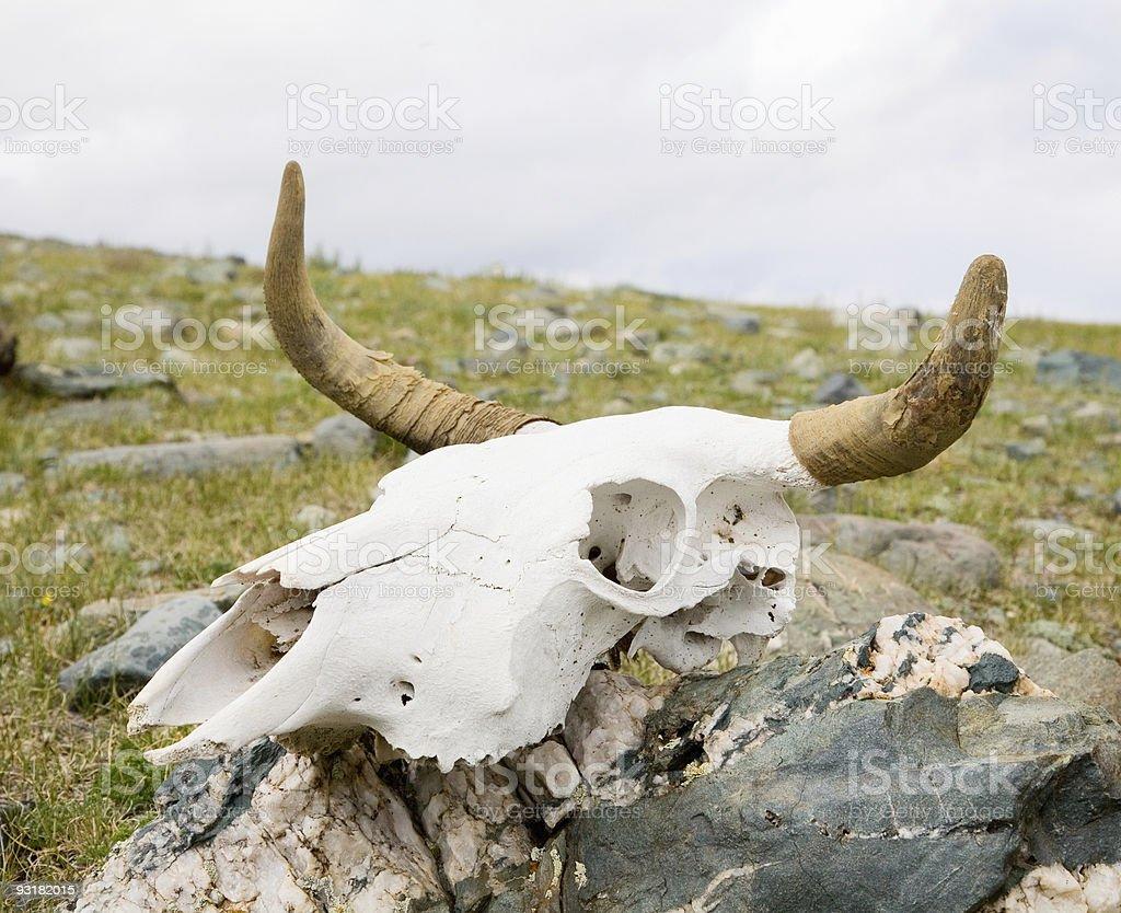 Skull dead bull royalty-free stock photo