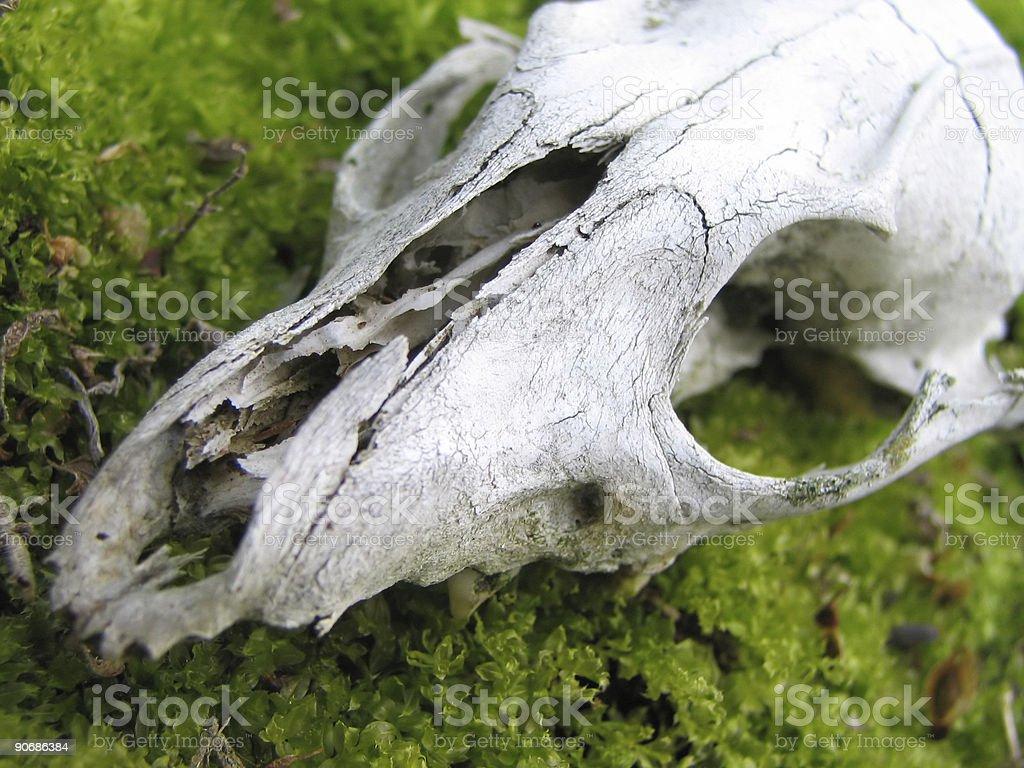 Skull from animal royalty-free stock photo