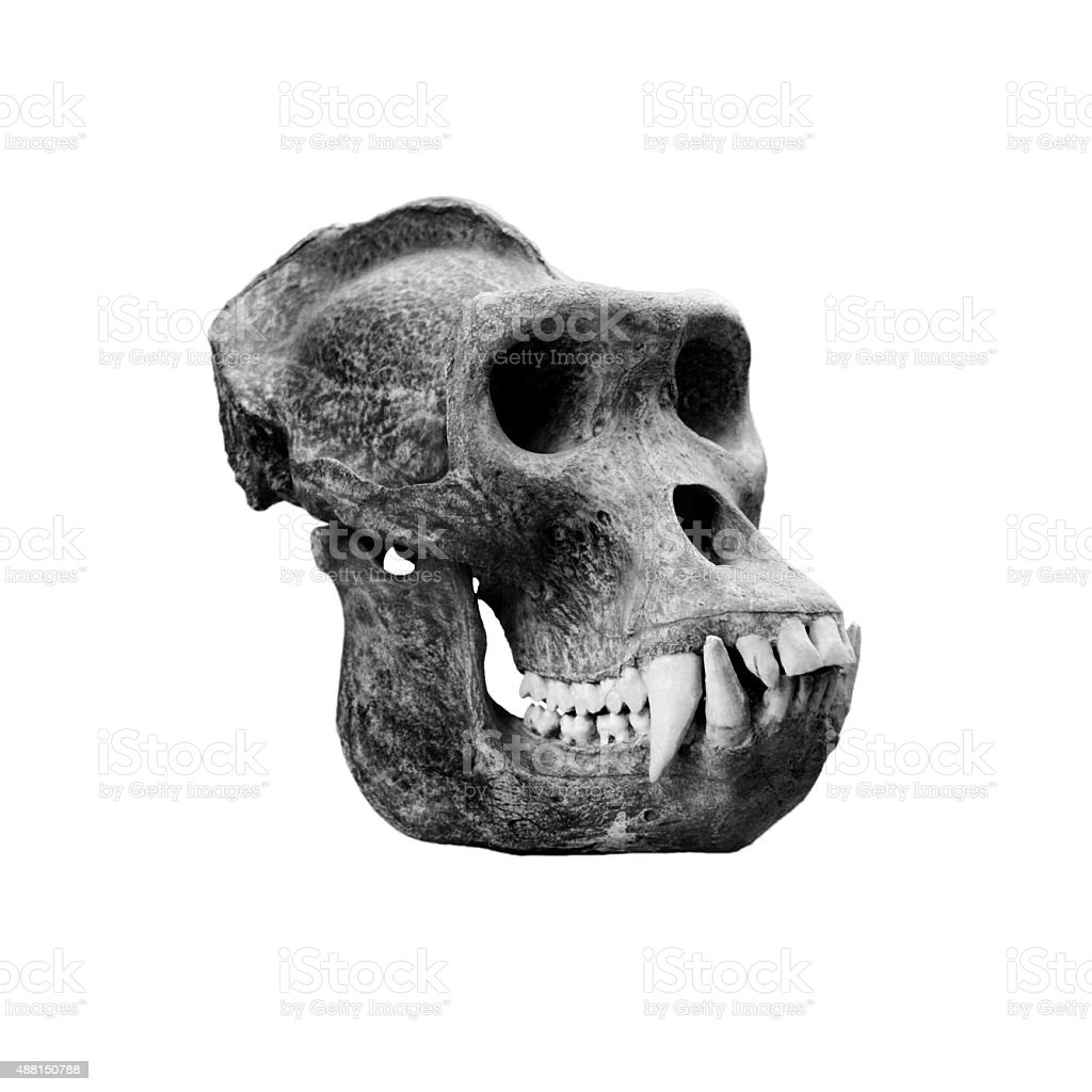 Skull gorilla. stock photo