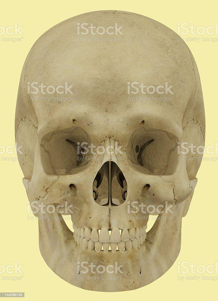 Skull Illustration. royalty-free stock photo