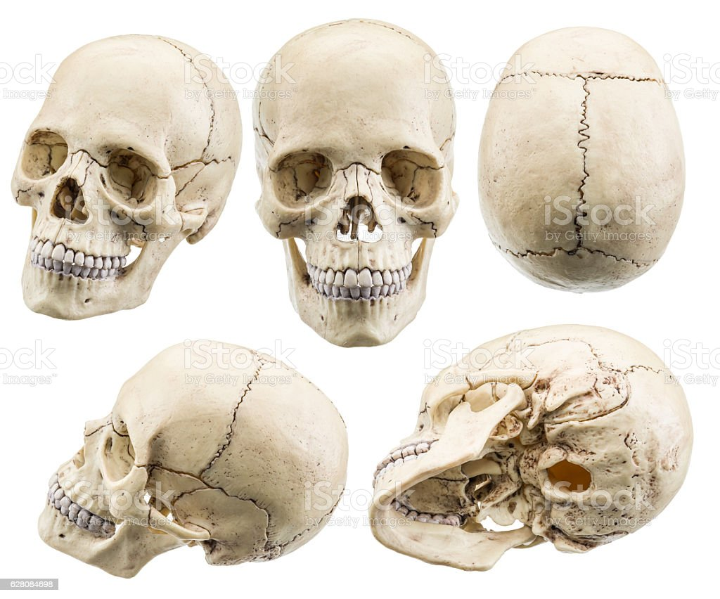 Skull model isolated on a white background. Skull model isolated on a white background. File contains clipping paths. Anatomy Stock Photo