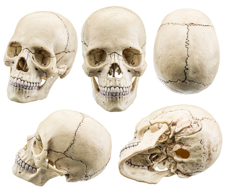 Skull Model Isolated On A White Background Stock Photo - Download Image Now
