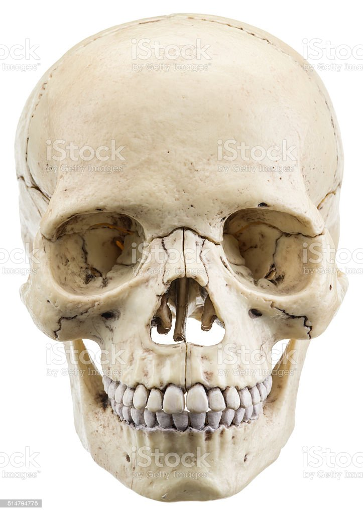 Skull model on a white background. stock photo