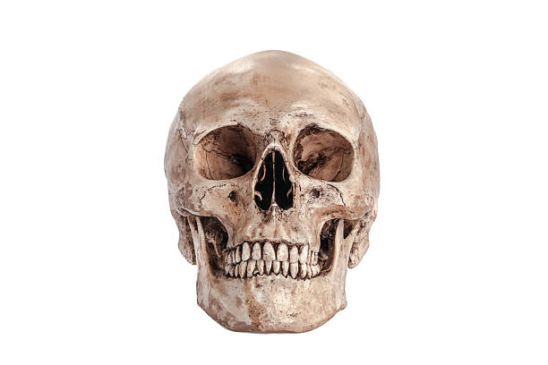 Skull model Skull model on isolated white background human skull stock pictures, royalty-free photos & images