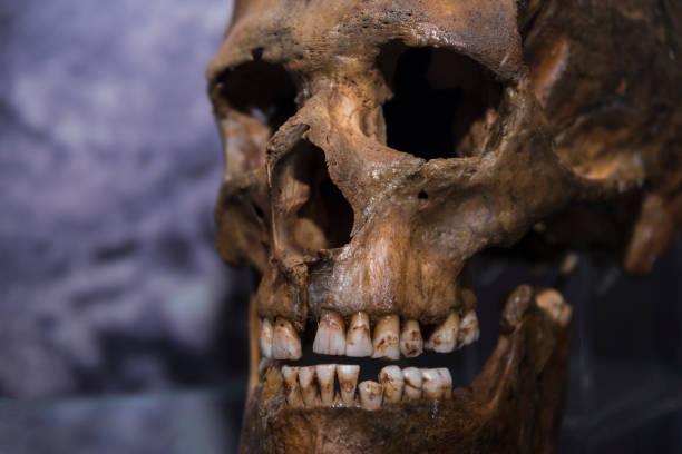 Skull of a caveman close-up. stock photo