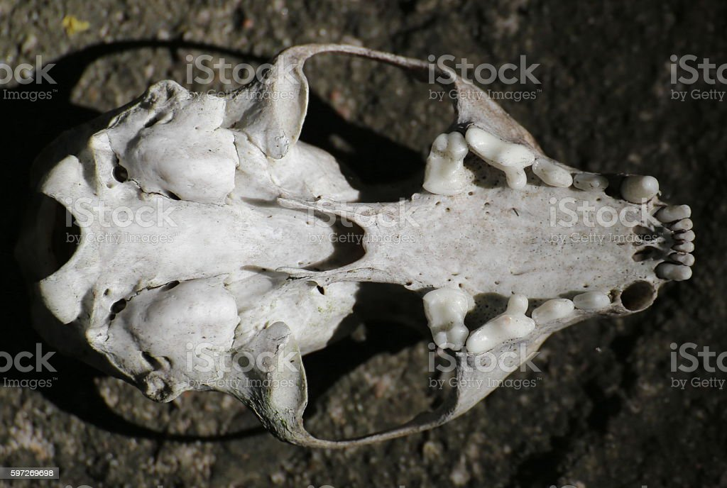 Skull of a European pine marten from below royalty-free stock photo