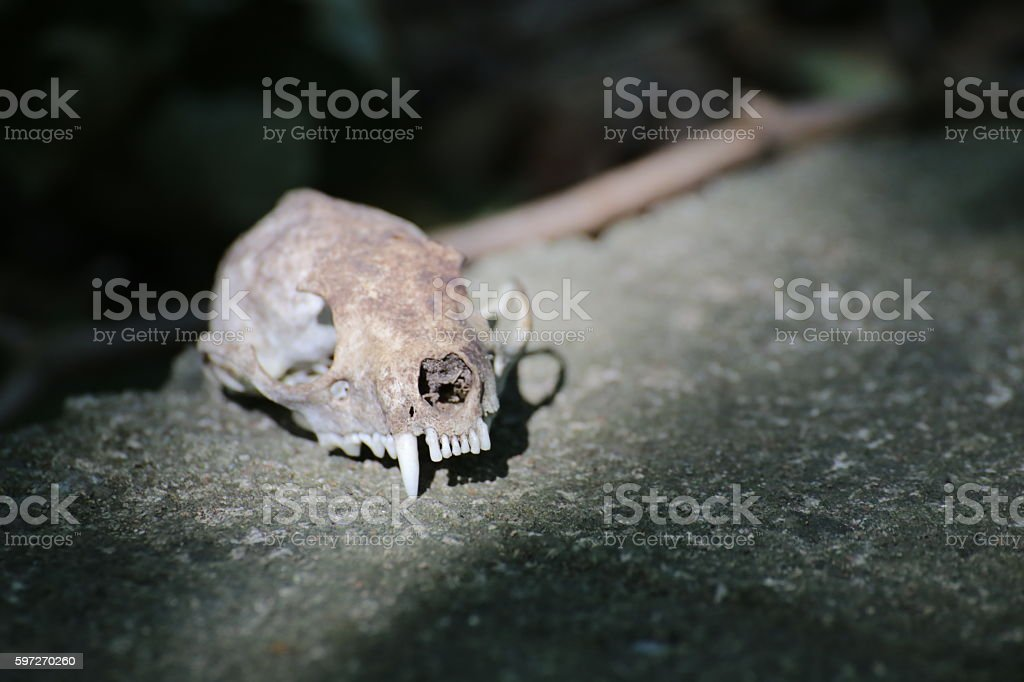 Skull of a European pine marten (Martes martes) Lizenzfreies stock-foto